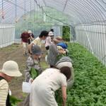 信州カブ収穫体験ツアー