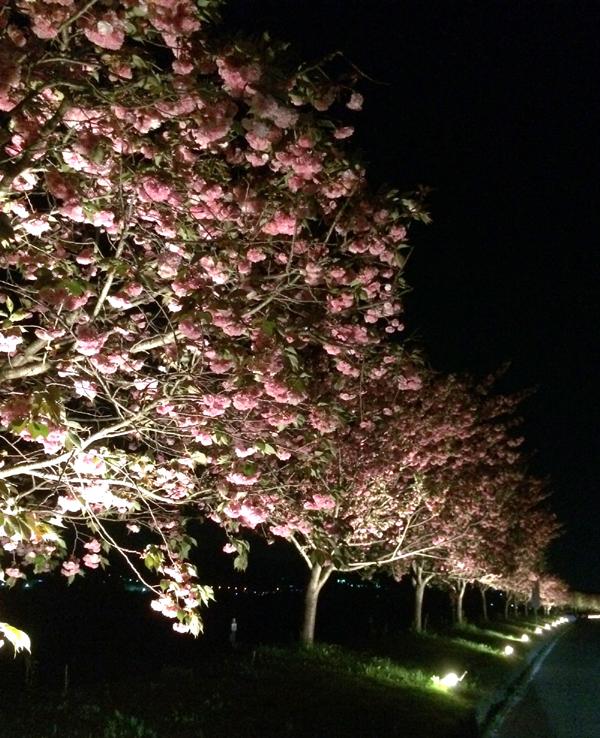 天龍峡 八重桜 ライトアップ