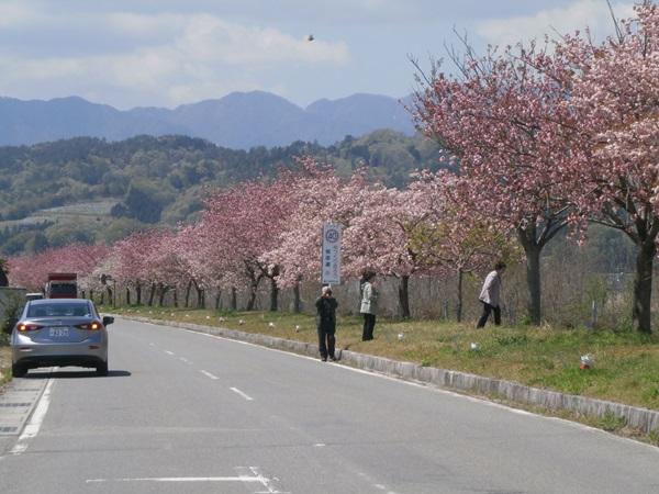 天竜峡 桜街道八重桜